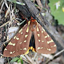 Unknown brown and yellow moth - Arctia parthenos