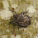 Brochymena Stink Bug - Brochymena affinis