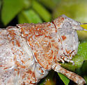 Koebele's Desert Long-horned Grasshopper - Tanaocerus koebelei - female