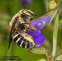 Megachilid - Trachusa manni - female