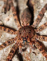 Fishing Spider - Dolomedes tenebrosus - female