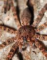 Fishing Spider - Dolomedes tenebrosus - female