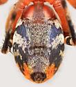 Bg3203 E6166 - Castianeira amoena - female