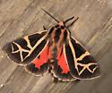 Tiger Moth - Grammia figurata