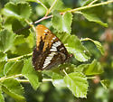 Unusually long & wide, red-marked individual of Lorquin's Admiral - Limenitis lorquini