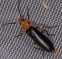 Neopyrochroa sp.? - Neopyrochroa femoralis