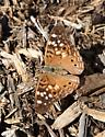 Unknown butterfly  - Asterocampa celtis