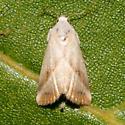 Hodges#9078 - Eublemma recta