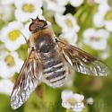 Bee Fly - Thyridanthrax pallidus