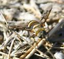 beefly, fairly big, multicolored striped body - Exoprosopa