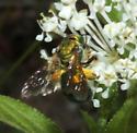 Halictidae, dorsal - Augochlorella - female