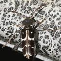 Xylotrechus species - Xylotrechus undulatus