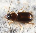 Ground beetle - Acupalpus