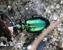 Beetle ID Request - Lebia viridis