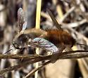 Mating Bee Flies - Anastoechus - male - female