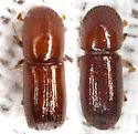Comparison to Xyleborus ferrugineus - Xyleborus affinis
