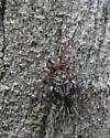 Globular Springtails - Ptenothrix