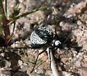 Desert Spider Beetle - Cysteodemus armatus