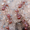 Harvester Ants - Pogonomyrmex barbatus