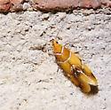 Moth - Epicallima argenticinctella