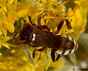Red and White Bee - Nomada