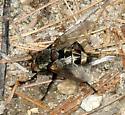 large noisey fly - Tachinomyia