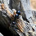 Ant - Camponotus laevigatus - female
