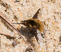 Fly - Bombylius major