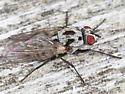 Grey Fly w/ Black Spots - Anthomyia