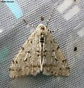 Phigalia strigataria - male