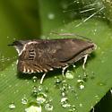 Moth - Cydia nigricana