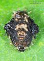 Cassidinae