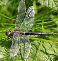 Which Dragonfly is this? - Cordulia shurtleffii
