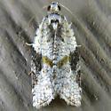Gray-banded Leafroller - Argyrotaenia mariana