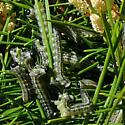 Neodiprion sertifer larvae