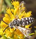 Xeromelecta californica