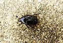 beetle (rain beetle?) - Euphoria sepulcralis - male
