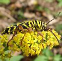 longhorned beetle - Megacyllene robiniae