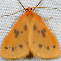 Little Beggar Moth - Eubaphe meridiana