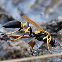 Black and Yellow Mud Dauber? - Sceliphron caementarium - female