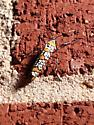 Colorful flying insect - Atteva aurea
