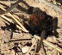 tarantula - male