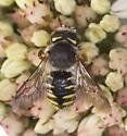 Bee sp.?  - Anthidium oblongatum