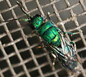 cuckoo wasp - Chrysis - male