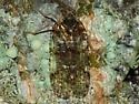 Planthopper - Cixius basalis