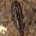 Metalic-wood Boring Beetle - Dicerca lurida