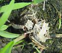 Spiked spider - Acanthepeira stellata