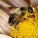 fly - Eristalis anthophorina