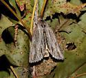 Noctuidae, adult on cocoon - Acronicta lithospila