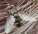 Cluster Fly - Pollenia sp?